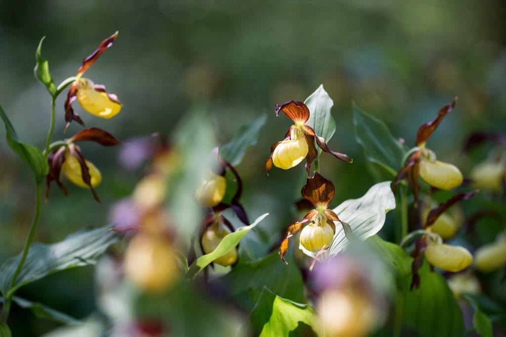 Gelber Frauenschuh, die bekannteste der heimischen Orchideen